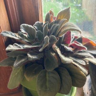 Kenyan Violet plant in Frederick, Maryland