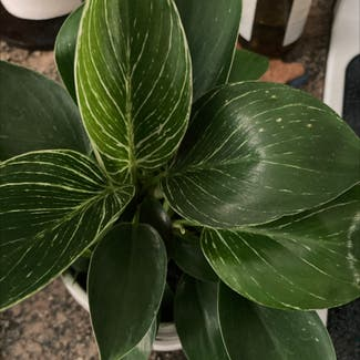 Philodendron 'Birkin' plant in Frederick, Maryland