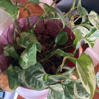 Pearls and Jade Pothos plant in Frederick, Maryland