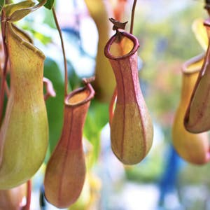 Tropical Pitcher Plant plant photo by Emma rose named Ginette on Greg, the plant care app.