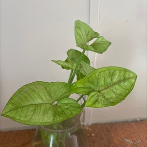 Arrowhead Plant plant photo by Cassidhe named Tree Diddy on Greg, the plant care app.