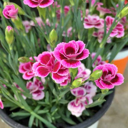 Photo of the plant species Dianthus 'Pink Kisses' by Jasmine1 named elaine on Greg, the plant care app