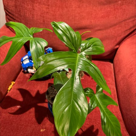 Photo of the plant species Philodendron 'Florida' by Lilli named Hamilton on Greg, the plant care app