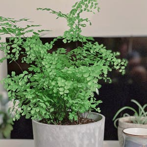 Maidenhair fern plant photo by Ivy named Your plant on Greg, the plant care app.