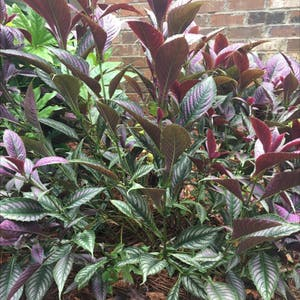 Strobilanthes dyeriana plant photo by Kaylaplant4967 named Dragonwillow on Greg, the plant care app.