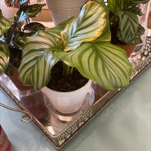 Round-leaf Calathea plant photo by Nikki1 named Willow on Greg, the plant care app.