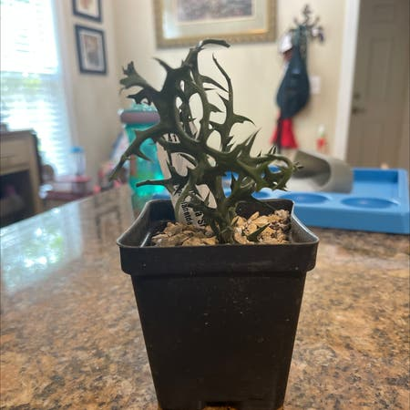 Photo of the plant species Euphorbia stenoclada by Elenath named Pokey on Greg, the plant care app