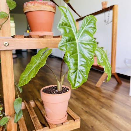 Photo of the plant species Alocasia by Alaiff named Sandy on Greg, the plant care app
