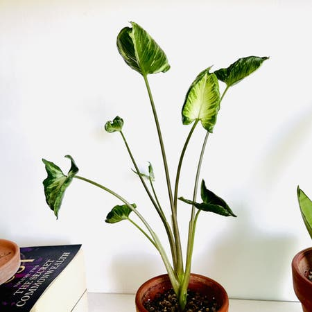 Photo of the plant species Syngonium by Alaiff named Godzilla on Greg, the plant care app