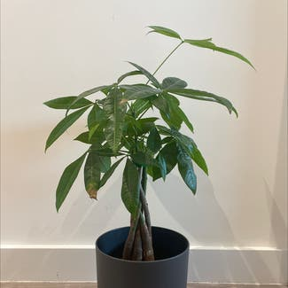 Money Tree plant in Lincoln, England