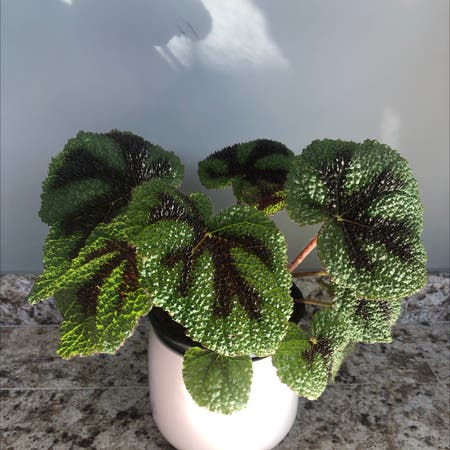 Photo of the plant species Iron Cross Begonia by Juliana named Begonia Masoniana on Greg, the plant care app
