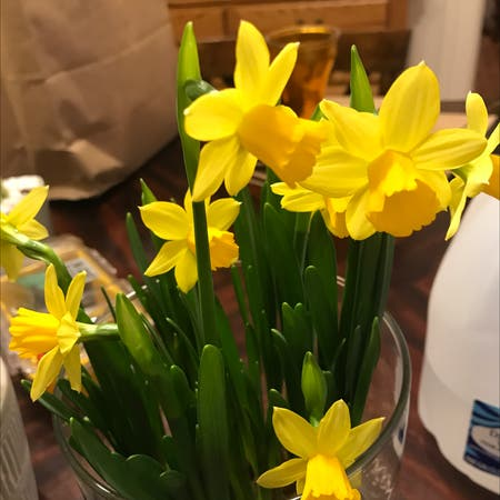Photo of the plant species Daffodil by Rubyofroses named Narcissa on Greg, the plant care app