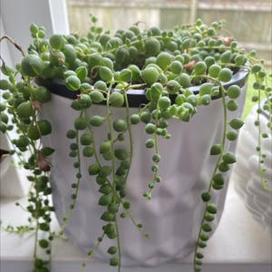 String of Pearls plant photo by Isha._.khopkar named Bubbles on Greg, the plant care app.