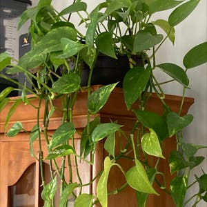 Golden Pothos plant photo by H.fowler named Oliver on Greg, the plant care app.