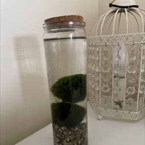 Marimo plant photo by Bethan named milo and mario on Greg, the plant care app.