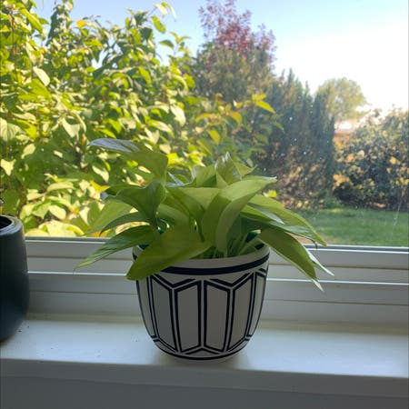 Photo of the plant species Pothos 'Neon' by Starchitap named Neo on Greg, the plant care app