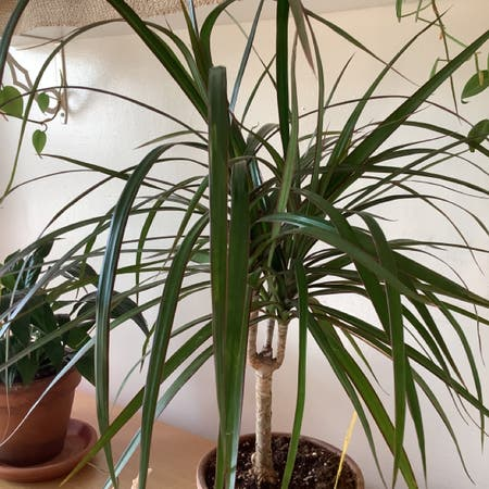 Photo of the plant species Red-Edged Dracaena by Bonnie named Draco on Greg, the plant care app