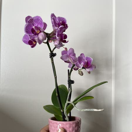 Photo of the plant species Aphrodite's Phalaenopsis by Lovedaynamarie named Aphrodite on Greg, the plant care app
