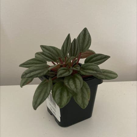 Photo of the plant species Peperomia San Marino by Ella named Zephyr jr on Greg, the plant care app