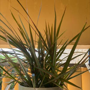 Song of India plant photo by Yvette named Your plant on Greg, the plant care app.