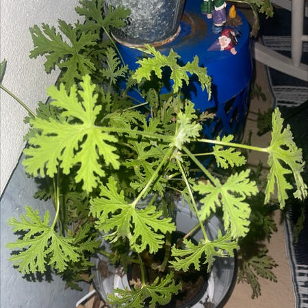 Photo of the plant species Citronella (anti-mosquito plant) by Jerry named Wall-E on Greg, the plant care app