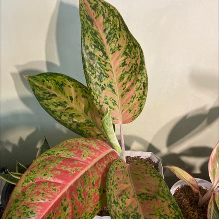 Photo of the plant species Big Roy by Iamgeorge named Roy on Greg, the plant care app