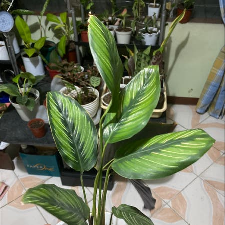 Photo of the plant species Beauty Star by Iamgeorge named Beauty on Greg, the plant care app