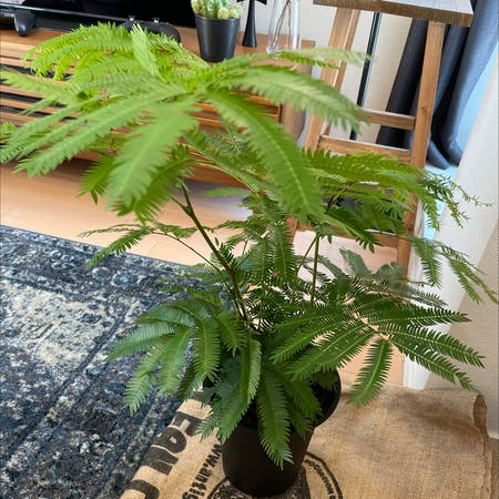 Photo of the plant species Persian Silk Tree by Asuyakono named エバーフレッシュ on Greg, the plant care app