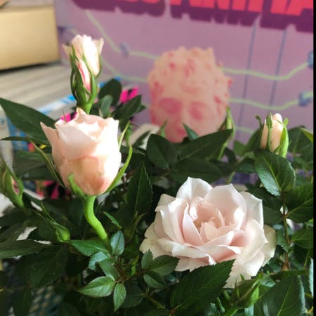 Photo of the plant species Parade Rose by K4rl named Buttercup on Greg, the plant care app