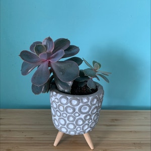 Pearl Echeveria plant photo by Mintybobcat named Kimmy & Elliot on Greg, the plant care app.
