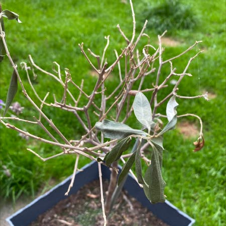 Photo of the plant species Russian Olive by Kyra named Austen on Greg, the plant care app