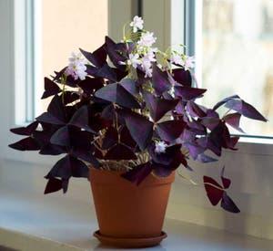 Purple Shamrocks plant photo by Armin named Oxalis on Greg, the plant care app.