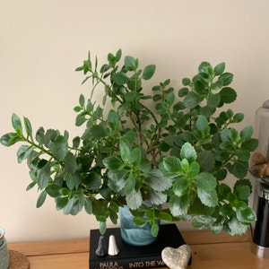 Rating of the plant Florist Kalanchoe named Cowslip by Durbxnskies on Greg, the plant care app