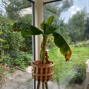 Abyssinian banana plant photo by Marina named Banana on Greg, the plant care app.
