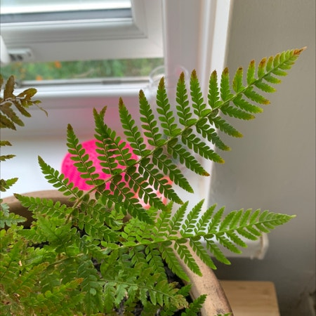Photo of the plant species Wood Fern by Kelsey named Ferne on Greg, the plant care app