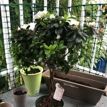 Photo of the plant species swamp azalea by Liam named azalea on Greg, the plant care app