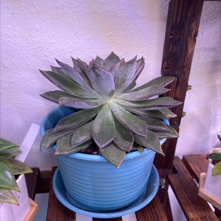 Photo of the plant species Silver Queen by Samijohanson named Echeveria Silver Queen on Greg, the plant care app