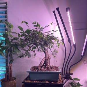Chinese Elm plant photo by Samijohanson named Bonsai Chinese Elm on Greg, the plant care app.