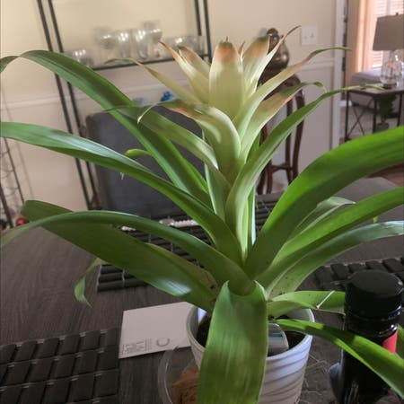 Photo of the plant species Bromeliad by Latricia named Sproutacus on Greg, the plant care app