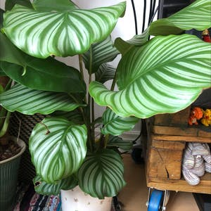 Round-leaf Calathea plant photo by Ella named Please dont die on Greg, the plant care app.