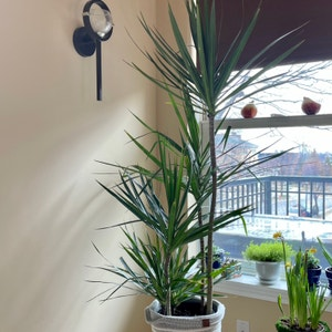 Rating of the plant Dragon tree named Thomas by Athena61 on Greg, the plant care app