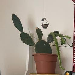 Brazilian pricklypear plant