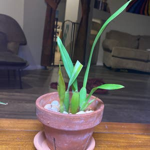 Heaven Scent Orchid plant photo by Kikit named Picky Prince on Greg, the plant care app.