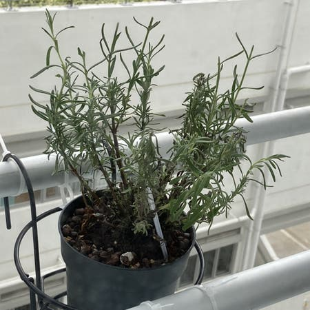 Photo of the plant species Hidcote Blue Lavender by Mandie named Funfun on Greg, the plant care app