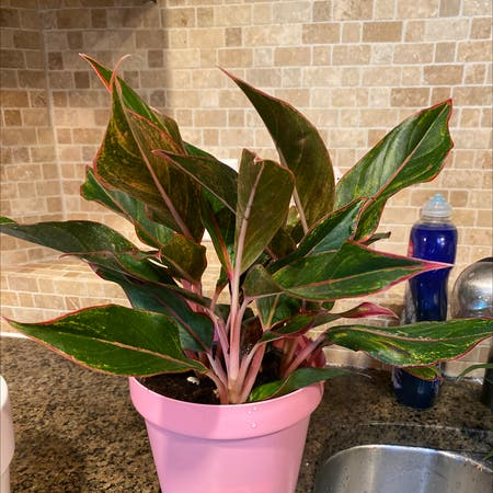 Photo of the plant species chinese evergreen by Savannah named Rose on Greg, the plant care app