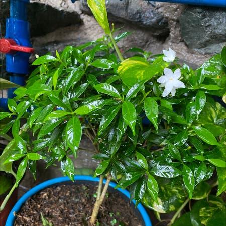 Photo of the plant species banana bush or kampupot by Pobayachi25 named Pandakaki on Greg, the plant care app