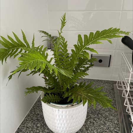 Photo of the plant species Silver Lady Fern by Katie named Your plant on Greg, the plant care app