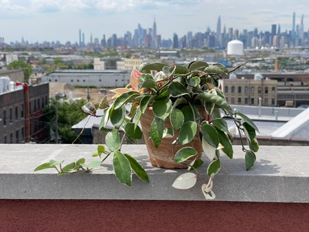 Photo of the plant species Hoya Carnosa Tricolor by Cody named Tammy on Greg, the plant care app