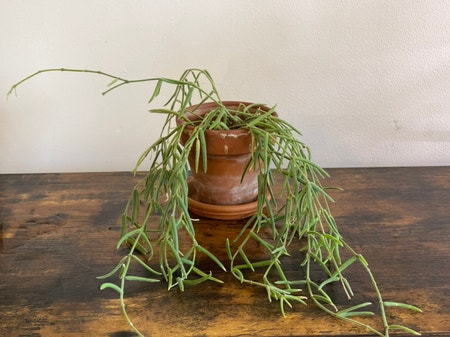 Photo of the plant species Wax Plant by Cody named Linda 3.0 on Greg, the plant care app