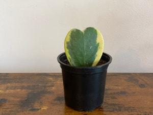 Sweetheart Hoya plant photo by Cody named Karen on Greg, the plant care app.